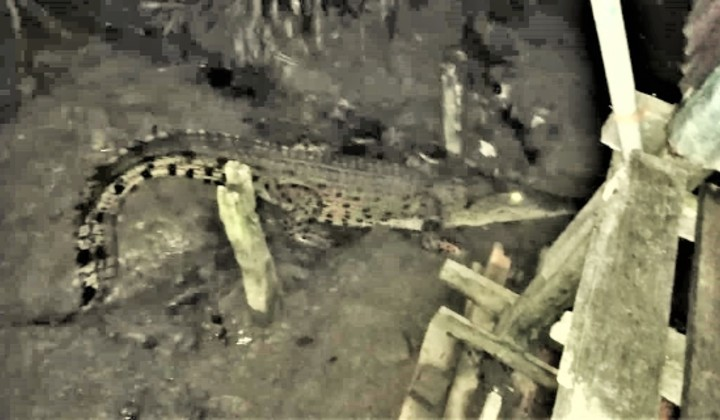 Crocodile spotted in kitchen of Sarawak