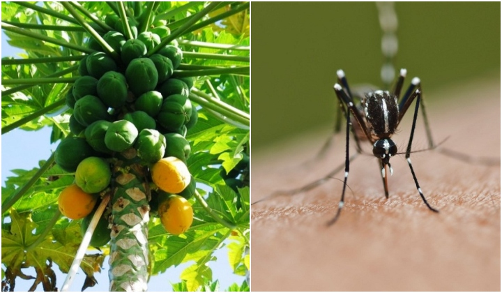 Science Papaya Leaf Juice Helps Recovery Of Dengue Patients Here S How You Can Prepare It